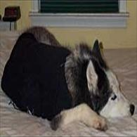 Siberian Husky Sleeps wearing Anxiety Wrap