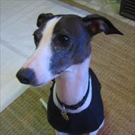 Whippet Dog Wearing Anxiety Wrap