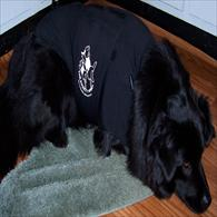 Black Lab sleeping in Anxiety Wrap