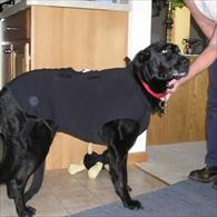 Black Lab Wearing Anxiety Wrap