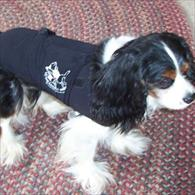 Cavalier King Charles Wearing Anxiety Wrap
