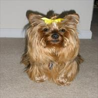Yorkie Wearing Anxiety Wrap