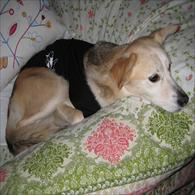 Beagle Mix Wearing Anxiety Wrap