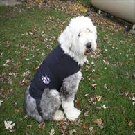 English Sheepdog Wearing Anxiety Wrap