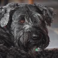 Giant Schnauzer Anxiety Wrap
